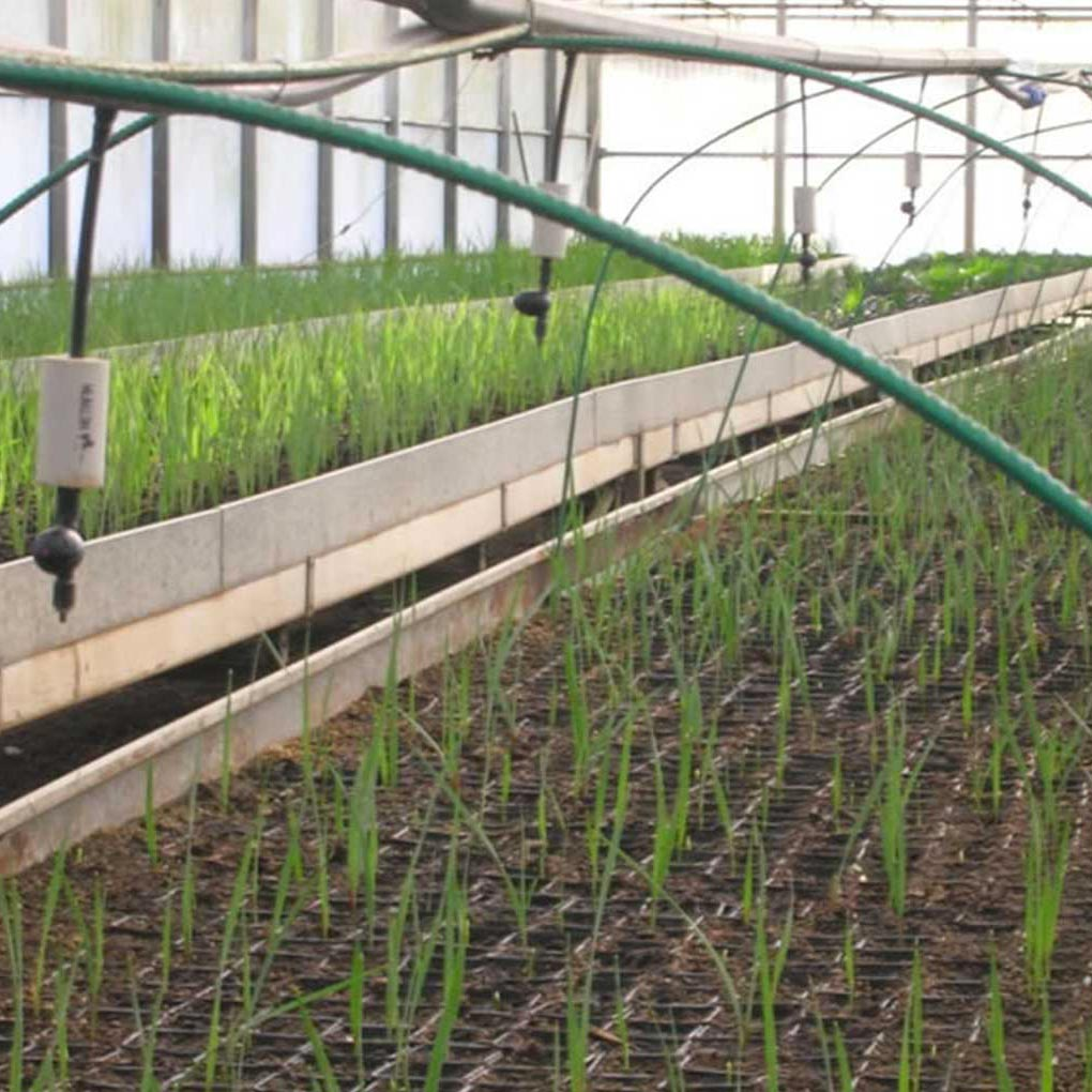 Taleaggio, riproduzione delle piante per talea
